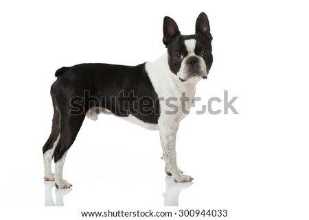 Boston terrier dog isolated on white - stock photo