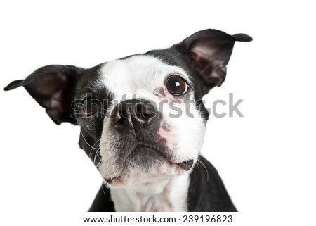 Boston Terrier dog looking up to the side. - stock photo