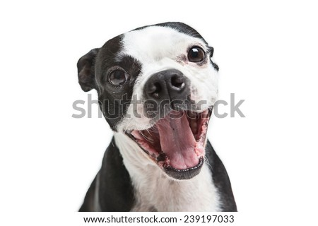 Boston Terrier dog yawning or laughing. - stock photo