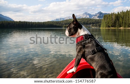 Boston Terrier in Kayak - stock photo