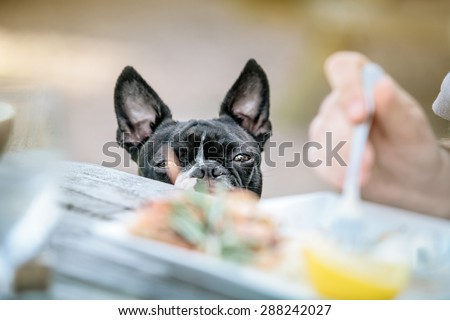 Boston Terrier in the Outdoor Restaurant waiting for food from the Table - stock photo