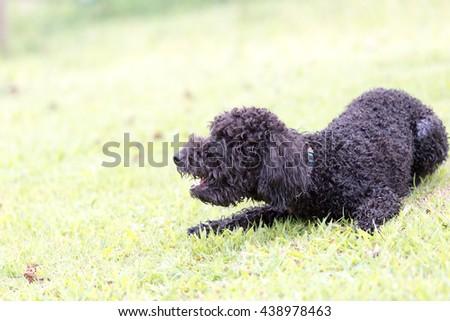 Boston terrier/Pet/Dog - stock photo