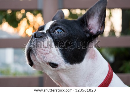 Boston Terrier portrait. White dog with black spot. - stock photo