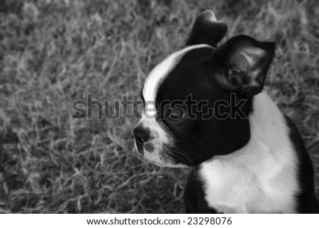 Boston Terrier Puppy in black and white. - stock photo