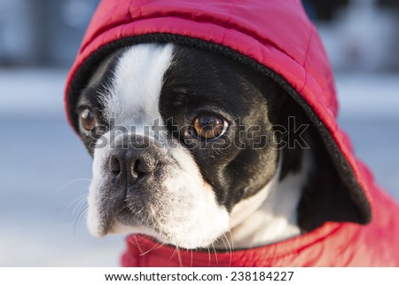 Boston Terrier Puppy in Red Hood - stock photo