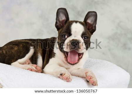 Boston terrier puppy lay down looking happy - stock photo