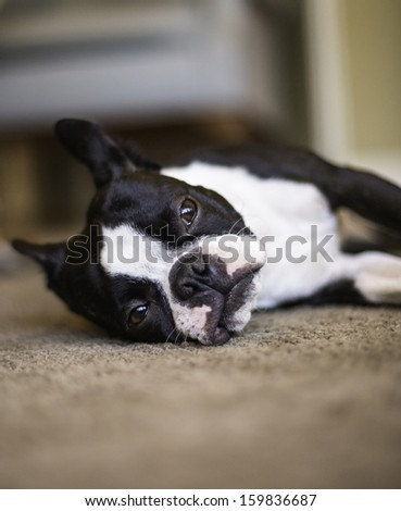 Boston Terrier Resting - stock photo