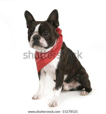 boston terrier with a red bandanna on - stock photo