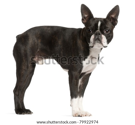 Boston Terrier, 1 year old, standing in front of white background - stock photo