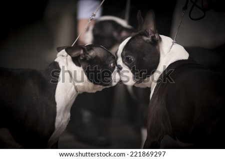 boston terriers at dog show - stock photo