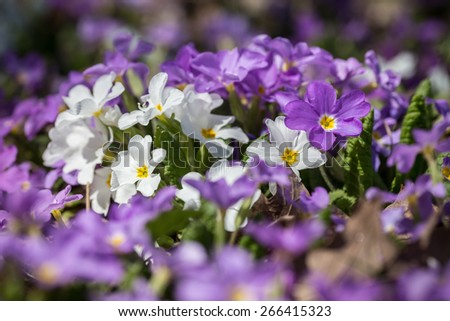 Botanic gardening plant nature image: primrose (primula, oxlip) flowers closeup among green plants over blurred background. Can be used as a wallpaper or postcard. - stock photo