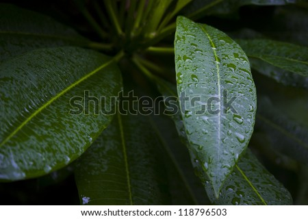 Botanical background macro of fresh green leaves beaded with glistening dew drops in early morning light - stock photo
