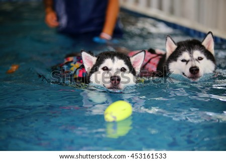 Both of Siberian husky black and white colors wear life jacket swim in swimming pool with ball toy, dog swimming, happy dog, dog activity, dog wet, both dogs - stock photo