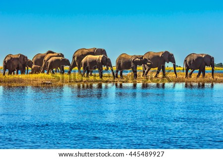 Botswana National Park Chobe on the river Zambezi. Large herd of elephants with calves come to drink - stock photo
