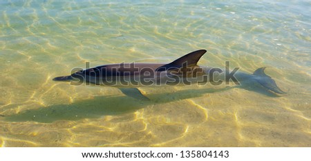 Bottle nose dolphin in clear shallow water with a sandy bottom. - stock photo