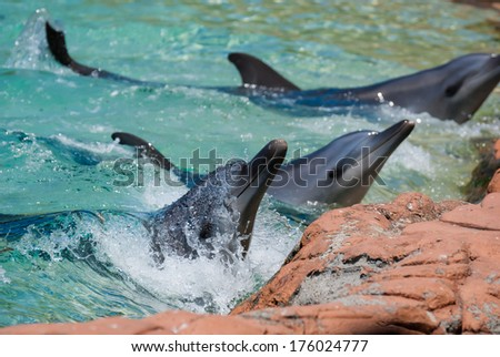 Bottle nose dolphin in show - stock photo