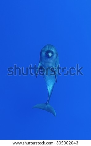 BOTTLE NOSE DOLPHIN SWIMMING ON BLUE WATER - stock photo