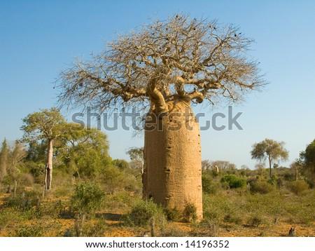 Bottle shaped Baobab tree.  Reniala Arboretum, Ifaty, Madagascar. - stock photo