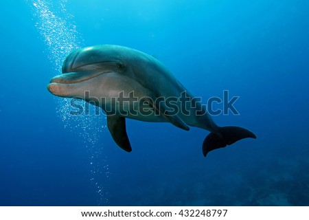 Bottlenose dolphin - stock photo