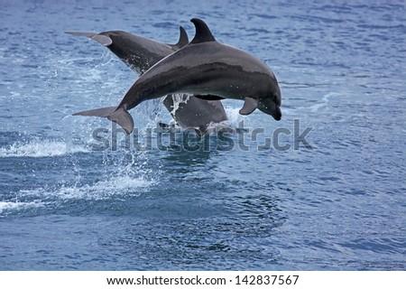 Bottlenose Dolphin in the ocean of Palawan - stock photo