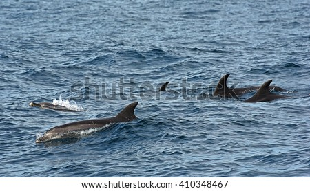 bottlenose dolphin. Picture taken from whale watching cruise in Strait of Gibraltar - stock photo