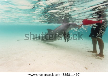 Bottlenose dolphin touches hand of  swimmer in Caribbean as school of fish swims nearby - stock photo