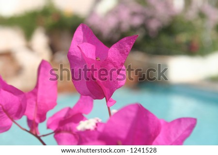 bougainvillea by the pool - stock photo