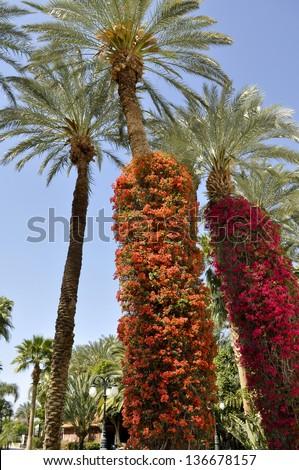 Bougainvillea climbing Palm Trees - stock photo