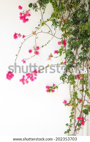 Bougainvillea flower red blossoms on a white wall - stock photo