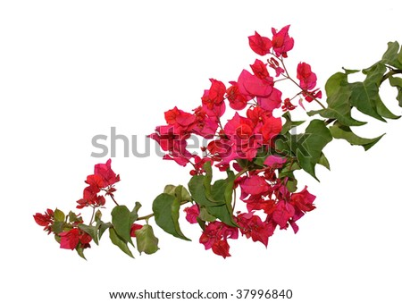 bougainvillea isolated on the white background - stock photo
