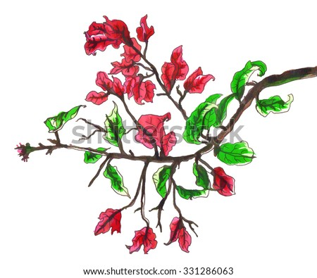 Bougainvillea tropical flower for wedding printing products: cards, invitations, menu. Hand drawn botanical illustration with red flowers on white background.  - stock photo