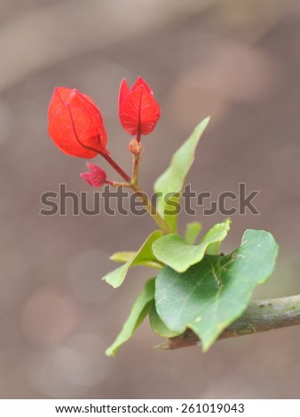 Bougainvillea young sprout - stock photo