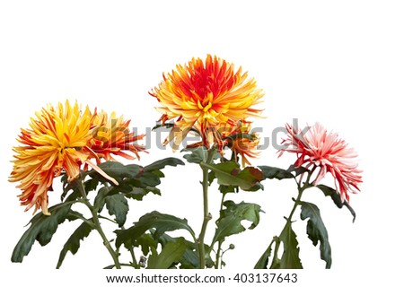bouquet from beautiful chrysanthemums on a white background - stock photo