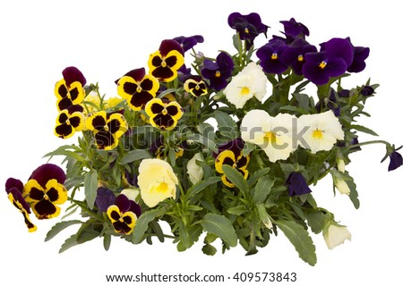 bouquet from pansies isolated on a white background - stock photo