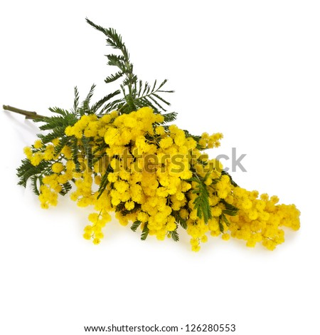 bouquet mimosa acacia flowers isolated on white background - stock photo