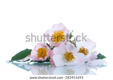 bouquet of beautiful wild roses on white background - stock photo