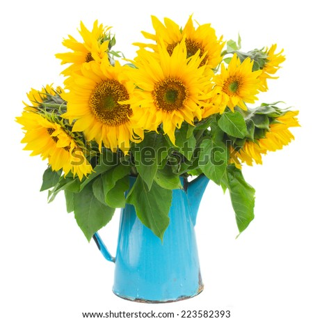 bouquet of bright sunflowers  in blue vase isolated on whute  - stock photo