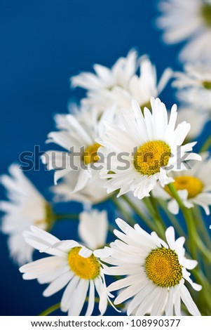 bouquet of camomiles on a blue background - stock photo