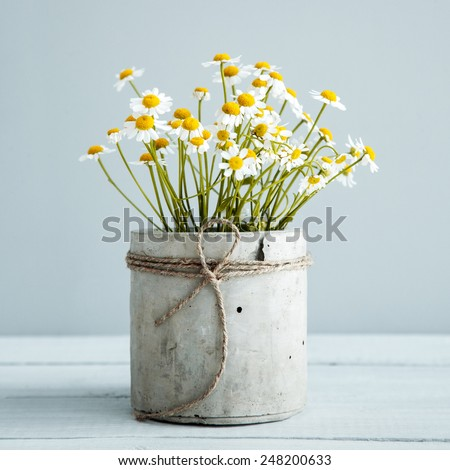 Bouquet of daisy-chamomile flowers in concrete pot in the morning - stock photo