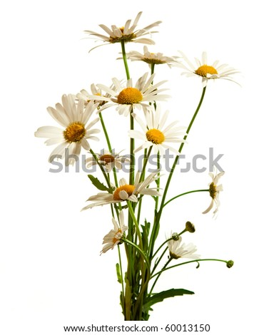 Bouquet of daisy flowers isolated on white background - stock photo