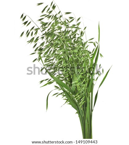 bouquet of fresh green oat seeds close up isolated on white background - stock photo