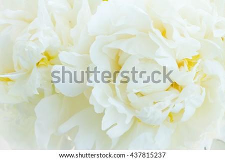 Bouquet of fresh white peony flowers macro background - stock photo