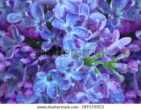 bouquet of lilac macro photo - stock photo