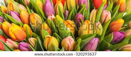 bouquet of multicolor tulips. fresh spring flowers with water drops. floral backdrop - stock photo