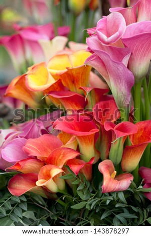 Bouquet of multicolored calla lilies. Floral pattern. Close-up. Abstract background. - stock photo