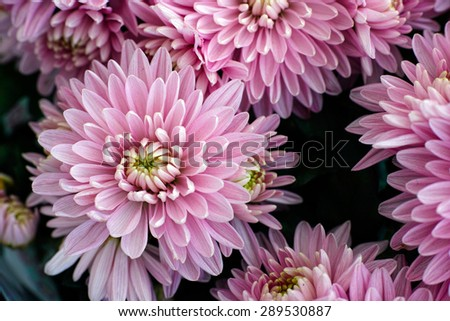 Bouquet of pink chrysanthemums. Close up. - stock photo