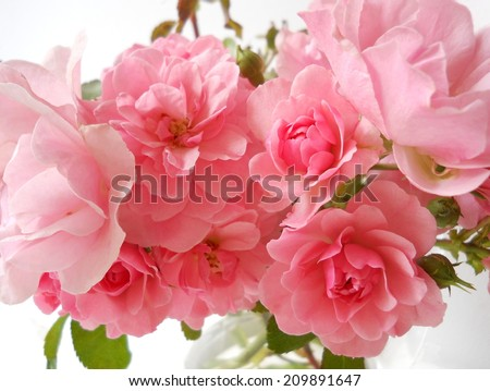 Bouquet of pink roses on a white background. - stock photo