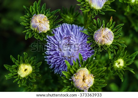 Bouquet of purple asters in the garden - stock photo