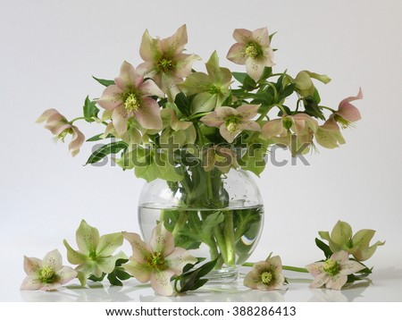 Bouquet of spring hellebore flowers in a vase. Spring floral still life with helleborus flowers. Home natural decoration. - stock photo
