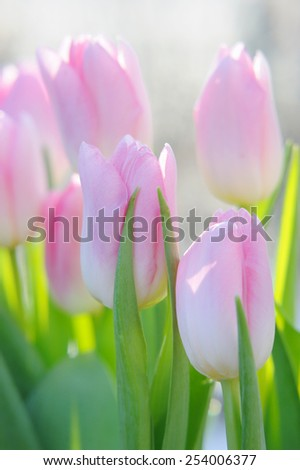 Bouquet of the fresh pink tulips in sunshine outdoor - stock photo